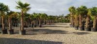 Palmen-und-Olivenbaum-Verkauf-2020-1