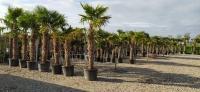 Palmen-und-Olivenbaum-Verkauf-2020-2