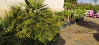 Palmen-und-Olivenbaum-Verkauf-2020-3