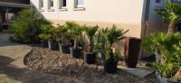 Palmen-und-Olivenbaum-Verkauf-2020-4