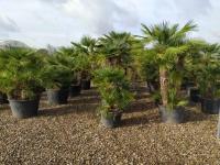 Palmen-und-Olivenbaum-verkauf-Hannover-10