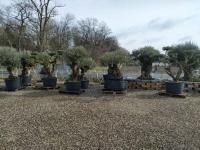Palmen-und-Olivenbaum-verkauf-Hannover-7