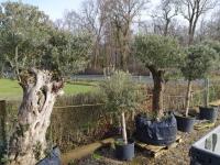 Palmen-und-Olivenbaum-verkauf-Hannover-9
