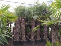 Palmenverkauf-Hannover-8