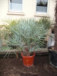 Winterfeste kleine langsam wachsende Palme