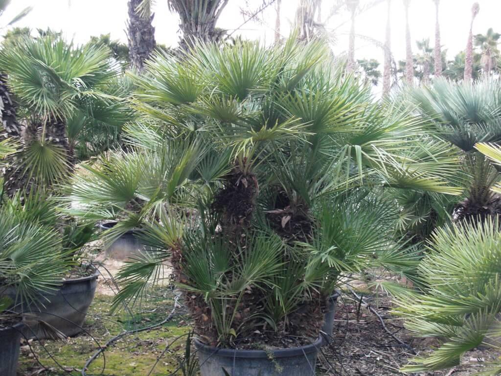 Schöne dichte buschige Palme