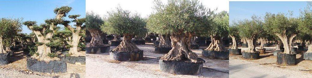 Diese Olivenbäume kommen aus kalten Regionen