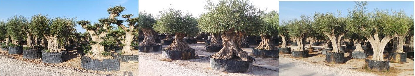 Palmen kaufen, Olivenbäume/Olivenbaum kaufen, Beratung ist
