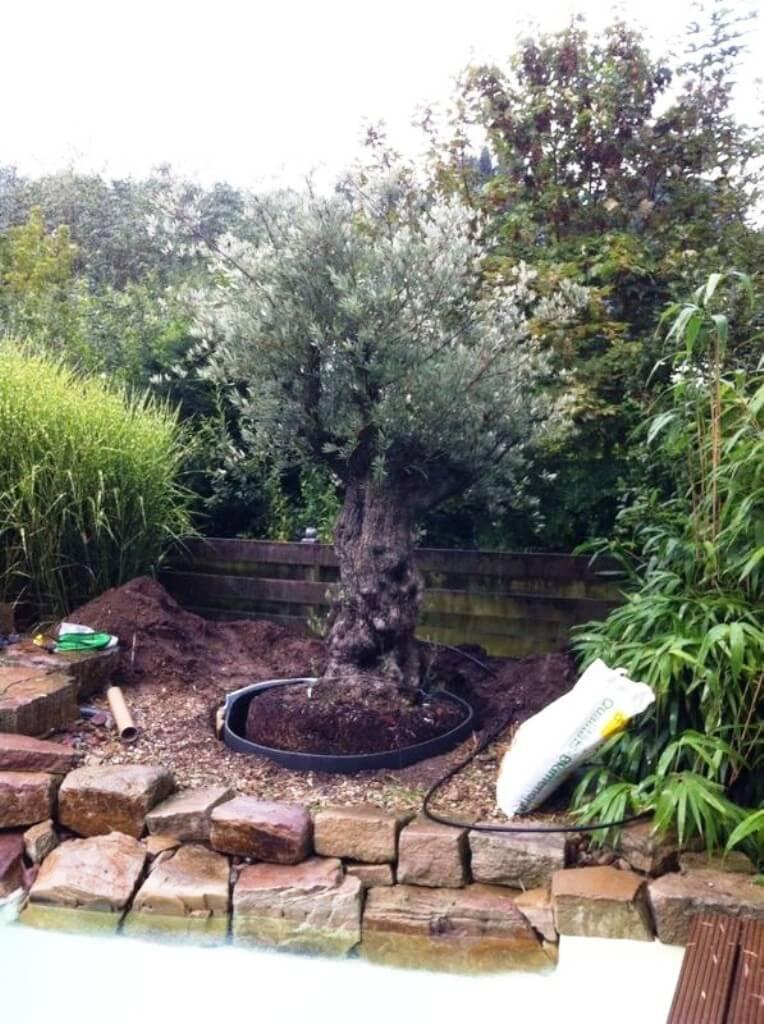Das Alter liegt bei diesem winterharten Olivenbaum bei ca.150-200 Jahren