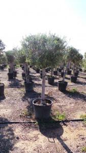 Hochstämmige Olive perfekt für zwischenräume in der Pflanzenvermietung.