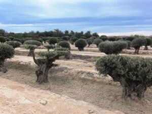 Eingeplanzter Olivenbaum fühlt sich auch bei uns wohl.