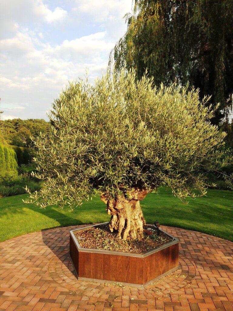 Beheizter Pflanzkübel für Olivenbäume