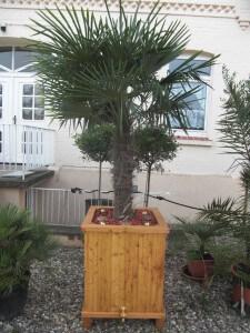 Winterfeste Trachycarpus im März nach einem Winter.