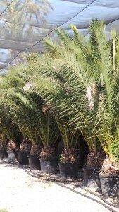 Palmen, Olivenbäume, mediterrane Pflanzen, Kaufen, Mieten