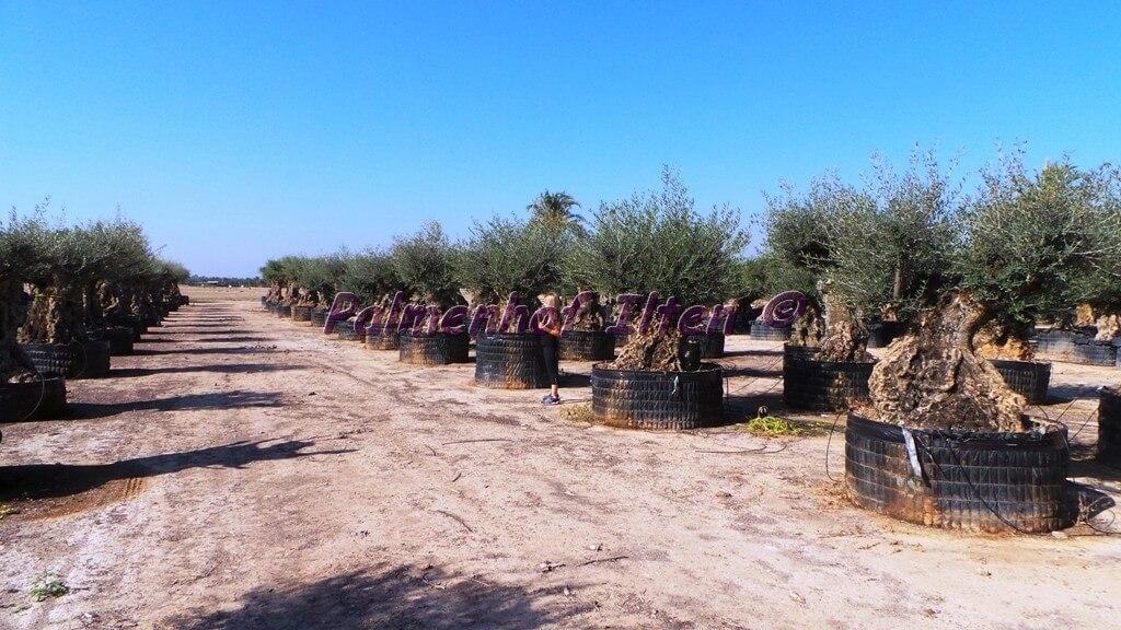 Olivenbäume auf unserer Plantage