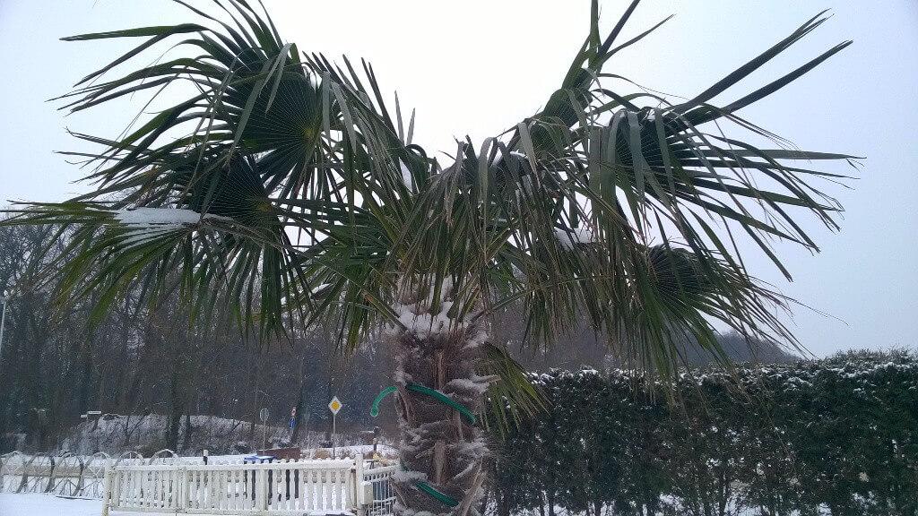 So sehen die Palmen bei diesen Temperaturen aus.