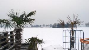 Solche Unterschiede gibt es bei winterfesten Palmen