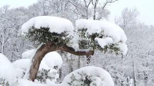 Winterfeste, Winterharte Sorte von Olivenbäumen im Winter 2016