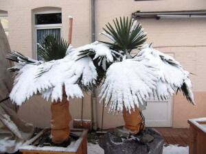 Winterharte Palmen im Schnee