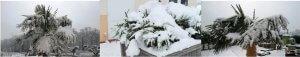 Frostharte Palmen die in Deutschland kultiviert werden