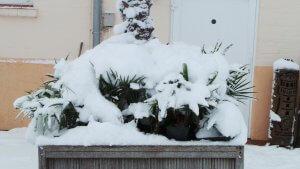 Winterfeste Jungpalmen werden zu winterharten Palmen gemacht