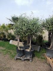 Ohne leichten Winterschutz können diese Oliven nich bei Dauerfrost überleben.