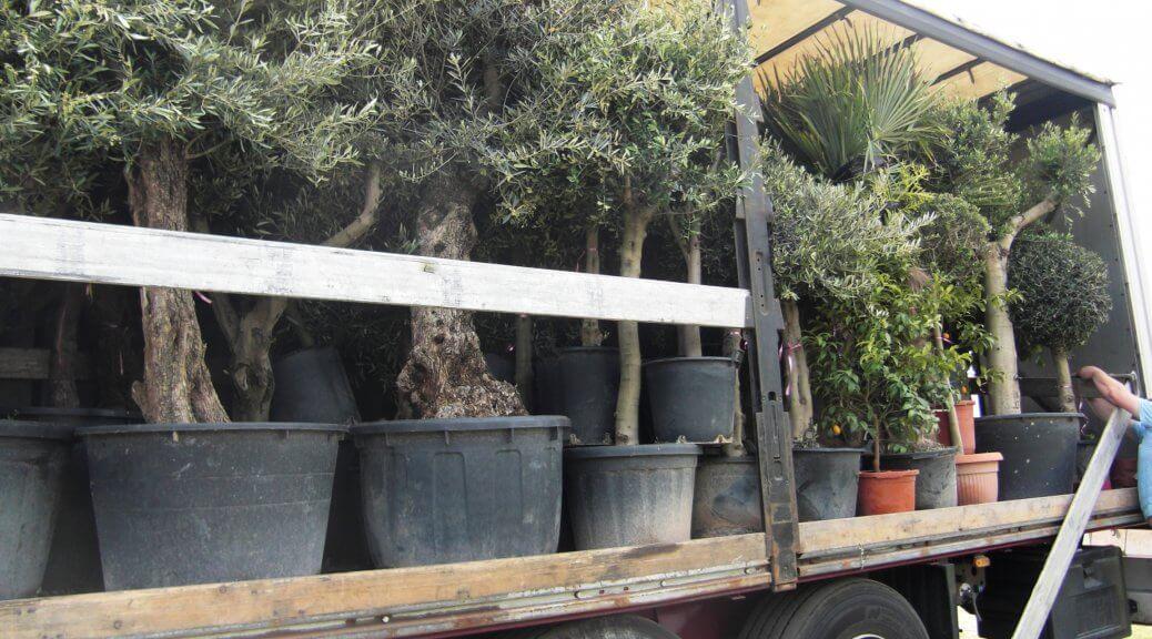 Kaufen sie Olivenbäume für Deutschland nur aus kalten Regionen
