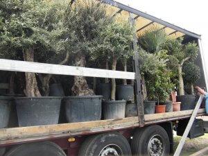 Olivenbäume kaufen für Deutschland nur aus kalten Regionen
