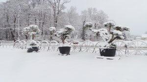 winterharte olivenb ume kaufen sie olivenb ume nur nach beratung. Black Bedroom Furniture Sets. Home Design Ideas