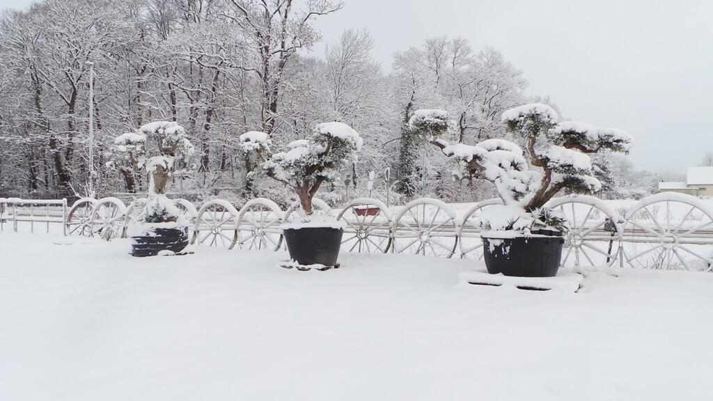 Winterharte Olivenbäume müssen schon von klein an im richtigen Klima kultiviert werden um den Winter in Deutschland zu überstehen.