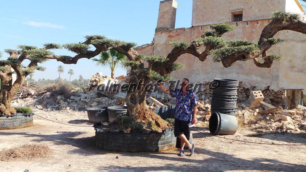 Olivenbaum Pflege leicht gemacht