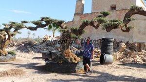 Mit ein Gewicht von Rund 7 Tonnen ist dieser Winterharte Olivenbaum nicht gerade handlich.