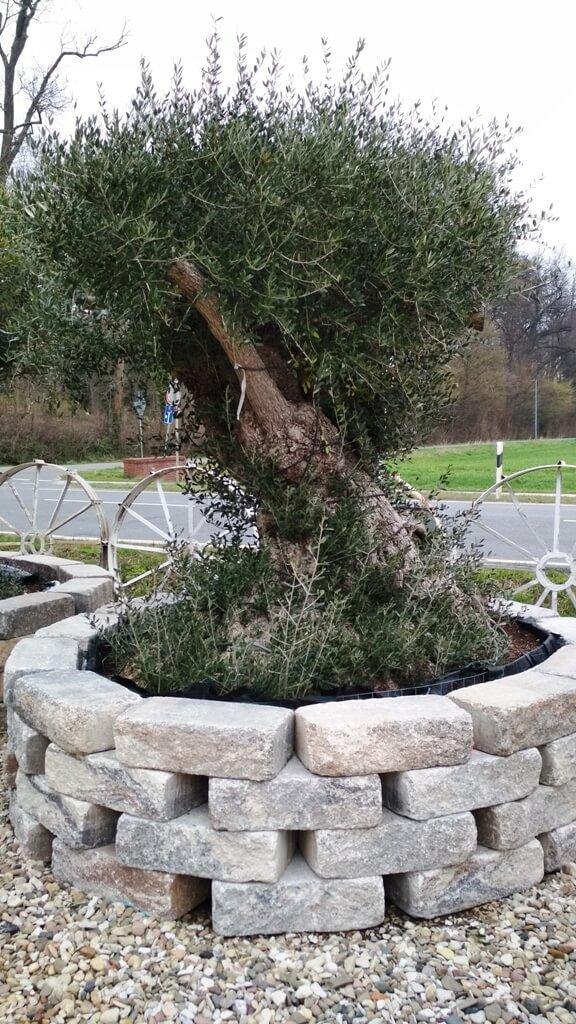 Jetzt einen winterharten Olivenbaum in ihren Garten pflanzen.
