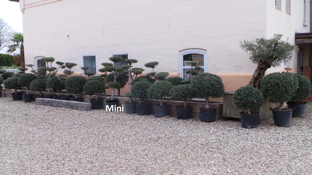 olivenbaum kaufen von jung bis alt formschnitt oder. Black Bedroom Furniture Sets. Home Design Ideas