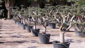 Formschnitt Olivenbaum