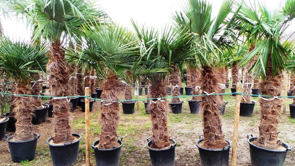 Winterharte Palme Trachycarpus