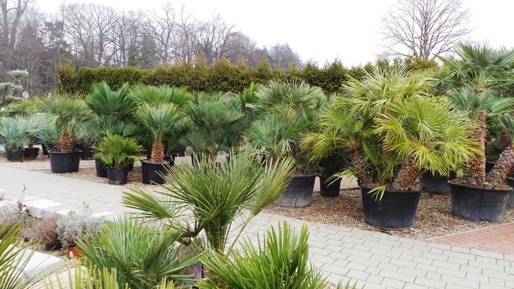 Winterharte,winterfeste Palme Chamaeops zum fest pflanzen