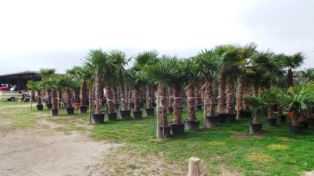 Verschönern Sie ihren Garten mit einer Trachycarpus fortunei Hanfpalme