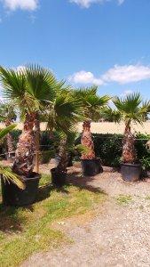 Washingtonia Palme mit 1m Stamm zum Sonderpreis