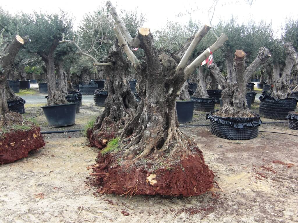 So werden Olivenbäume direkt aus der Plantage entnommen