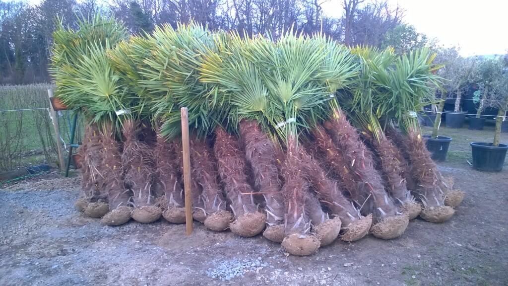 Mini Wurzelballen, wie soll diese Palme überleben