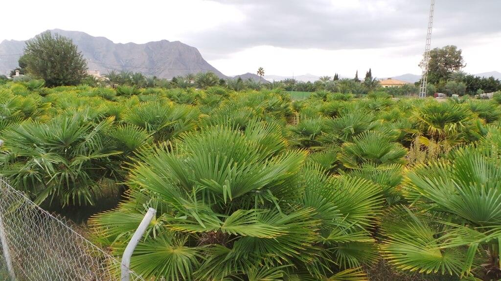 Weltweit sind große Plantagen mit Palmen für die weitere Nutzung als Produktionspflanzen angelegt. Kaufen Sie die richtigen Palmen und Olivenbäume für ihren Garten