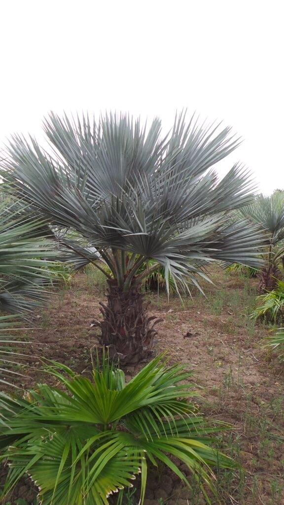 Sehr langsam wachsende winterharte Palme