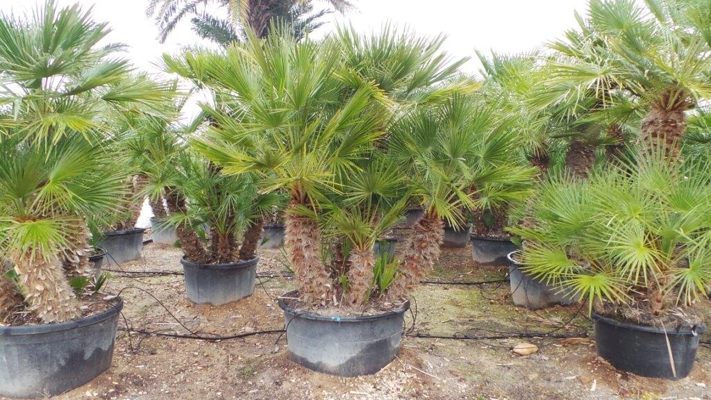 mehrstämmige winterharte Palme