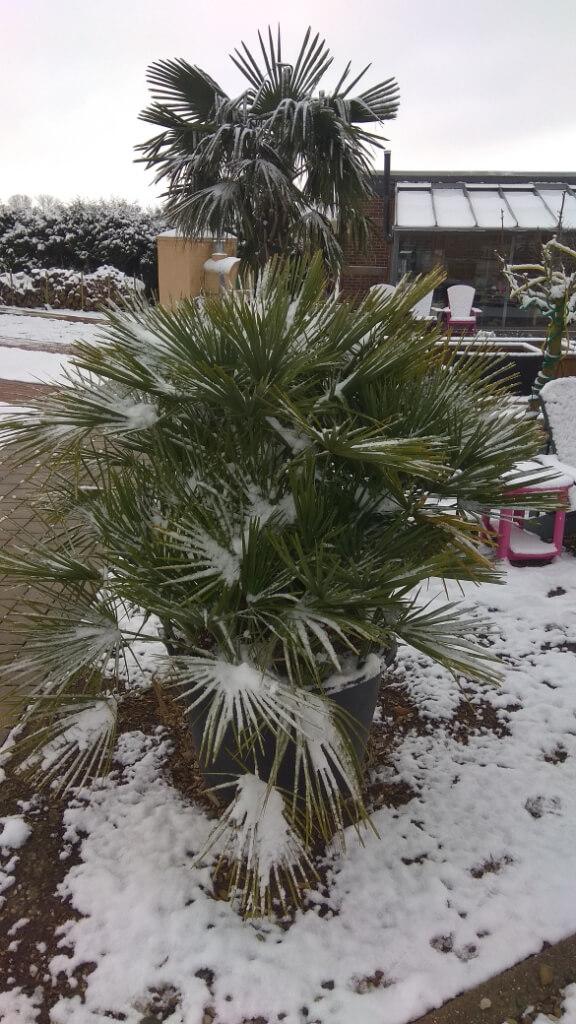 Winterharte Palme im Pflanzkübel kaufen