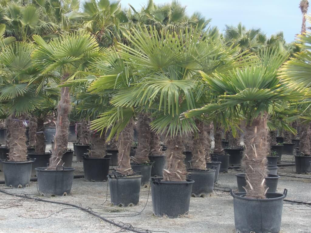 Winterharte Palmen Trachycarpus