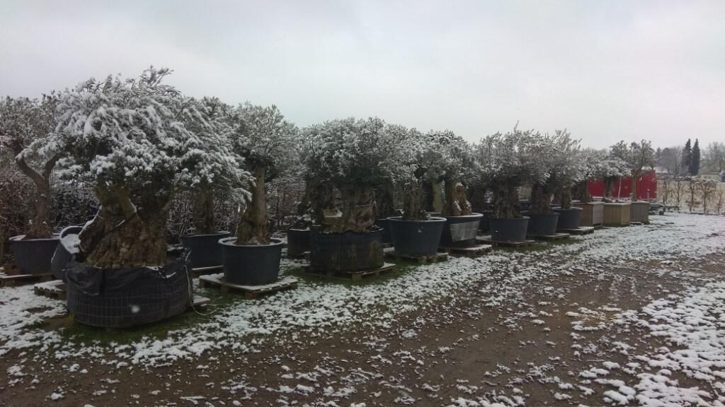 Winterharten Olivenbaum kaufen der auch im Winter kurze Frostperioden im Pflanzkübel übersteht.